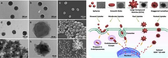聚前药两亲分子自组装纳米结构用于抗肿瘤药物高效输