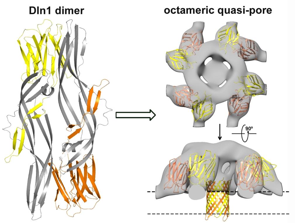 图注:dln1的晶体结构以及电镜结构